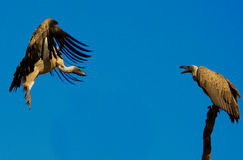 Vultures Stock Images