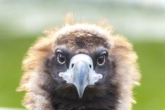 Vultures close-up aegypius monachus Royalty Free Stock Image