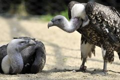 Vultures couple Stock Images