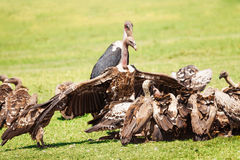 Vultures crowds on kill with marabou in background Stock Photography