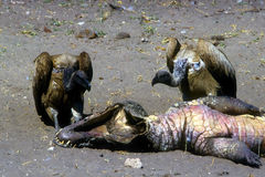 Vultures and dead crocodile Royalty Free Stock Photography