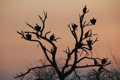 Vultures in a dead tree silhouetted against evening sky Stock Photography