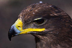 The vultures. This eagle is very fierce, wings 2 meters long, it has a huge and powerful claws, its food is a small animal, it lives in the high mountains stock images