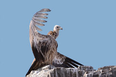The vultures. This eagle is very fierce, wings 2 meters long, it has a huge and powerful claws, its food is a small animal, it lives in the high mountains royalty free stock photo