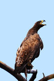 The vultures. This eagle is very fierce, wings 2 meters long, it has a huge and powerful claws, its food is a small animal, it lives in the high mountains stock photo
