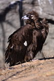The vultures. This eagle is very fierce, wings 2 meters long, it has a huge and powerful claws, its food is a small animal, it lives in the high mountains royalty free stock image