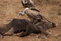 Vultures eat a Gnu Stock Images