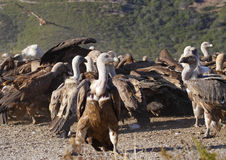 Vultures eating Royalty Free Stock Images
