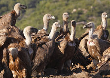 Vultures eating Royalty Free Stock Photo
