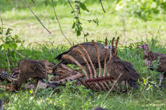 Vultures Eating A Carcass Royalty Free Stock Photography