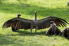 Vultures eating a carcass Royalty Free Stock Photo