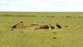 Vultures eating carrion in savannah at africa stock video
