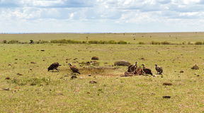 Vultures eating carrion in savannah at africa Royalty Free Stock Photography