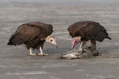 Vultures eating. At the edge of the beach Gambia Royalty Free Stock Images