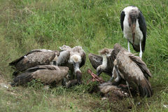 Vultures Eating - Serengeti, Tanzania, Africa Royalty Free Stock Photos