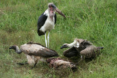Vultures Eating - Serengeti, Tanzania, Africa Stock Photos