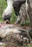 Vultures Eating - Serengeti, Tanzania, Africa Royalty Free Stock Photos