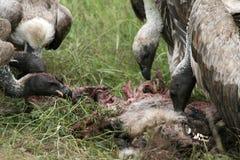 Free Vultures Eating - Serengeti, Tanzania, Africa Stock Photos - 10364033