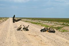 Vultures eating small gazelle in Serengeti Royalty Free Stock Photo