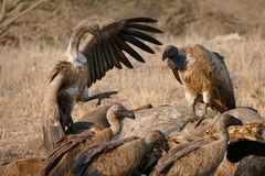 Vultures. Feasting on carcass wing Africa bush posturing feather Royalty Free Stock Photo