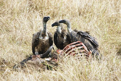 Vultures feed on carcass in Masai Mara, Kenya Stock Photo