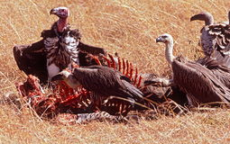 Vultures Feeding. A group of vultures feed on the carcass of a dead zebra on the dry, Serengeti Plain in Tanzania, Africa Stock Image