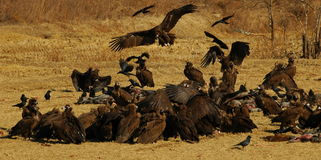 Vultures feeding. On dead pigs in a field Stock Photo