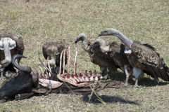 Vultures feeding on buffalo carcass Royalty Free Stock Photo