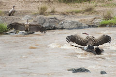 Vultures feeding on a dead wildebeest  Royalty Free Stock Image