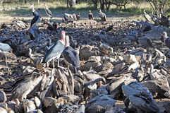 Vultures Feeding Royalty Free Stock Images