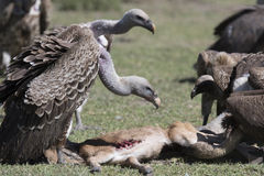 Vultures feeding on a wildebeest calf carcass Stock Images