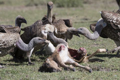 Vultures feeding on a wildebeest calf carcass Royalty Free Stock Photos