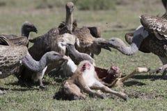 Vultures feeding on a wildebeest calf carcass Royalty Free Stock Photos