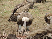 Vultures feeding on Wildebeest Royalty Free Stock Photo
