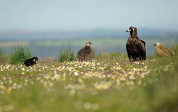 Vultures in the field in spring bloom Stock Photos