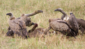 Vultures fight Royalty Free Stock Photography