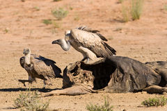 Vultures fighting at carcass for domination of the food in Kalah Stock Images