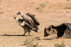 Vultures fighting at carcass for domination of the food in Kalah Stock Photo