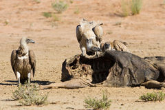 Vultures fighting at carcass for domination of the food in Kalah Royalty Free Stock Image