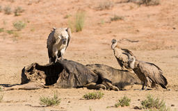 Vultures fighting at carcass for domination of the food in Kalah Stock Photography