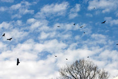 Vultures in Flight Royalty Free Stock Images