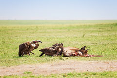 Vultures flock eating the carcass of a wildebeest Royalty Free Stock Photo
