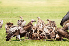 Vultures flock eating carrion at Kenyan savannah Royalty Free Stock Photography