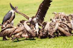 Vultures flock and marabou eating carrion, Africa Royalty Free Stock Images