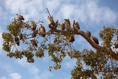 Vultures. A flock of vultures on a tree, Africa, Ethiopia Stock Photo
