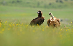 Vultures among flowers Stock Image