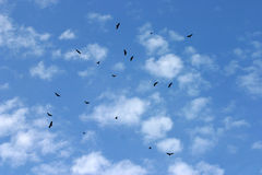 Vultures Flying Overhead Royalty Free Stock Photos
