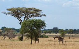 Vultures and Giraffes in the Serengeti Stock Image