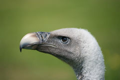 Vultures Head. A head shot of a Griffins vulture Stock Image