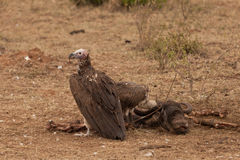 Vultures and head of Gnu Royalty Free Stock Photo
